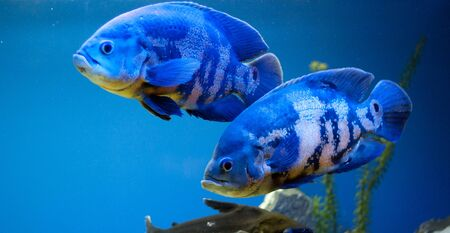 Couple of big blue fishes photo