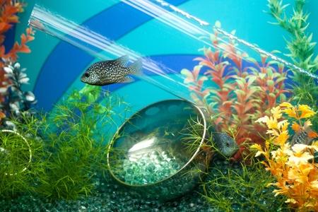 Striped grey fish in decorated aquarium photo