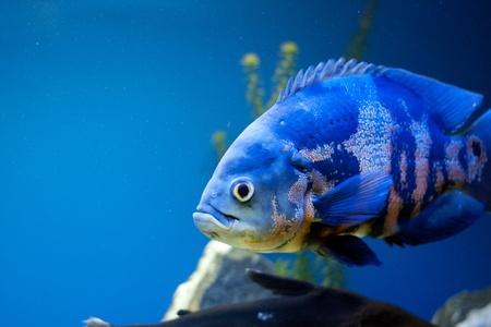 fishtank: Big blue fish in aqurium. Underwater Stock Photo
