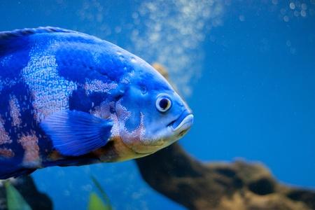 Big blue fish in aqurium. Underwater photo