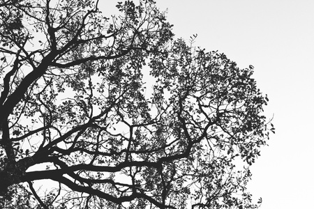 white birch tree: Silhouette of tree  Black and white