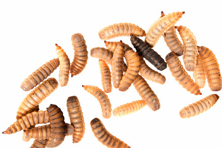 black soldier fly larvae isolated on white background Reklamní fotografie
