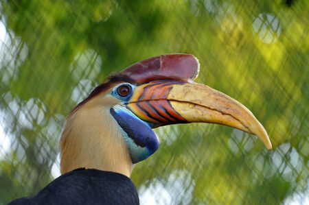 Portrait of a male Knobbed hornbill photo
