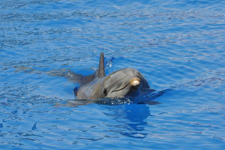 bottlenose: Common bottlenose dolphin swimming towards the viewer