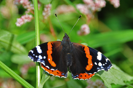 admiral: Red Admiral butterfly resting on a leaf