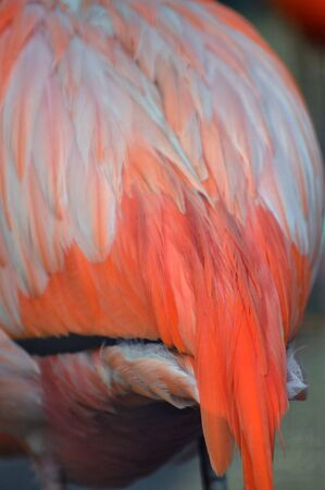 Closeup of the colourful feathers of a Caribbean flamingo