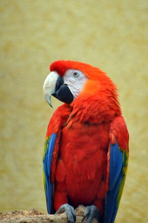 Captive scarlet macaw photo
