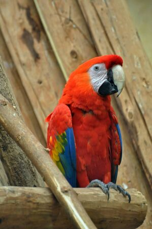 Captive Scarlet macaw sitting on a piece of wood photo