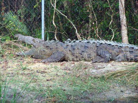Old crocodile sunning on bank