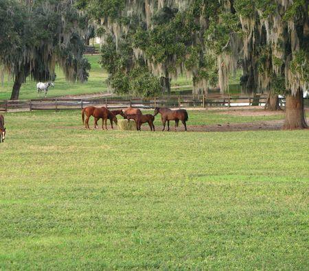 spoken: Herd eating there hay