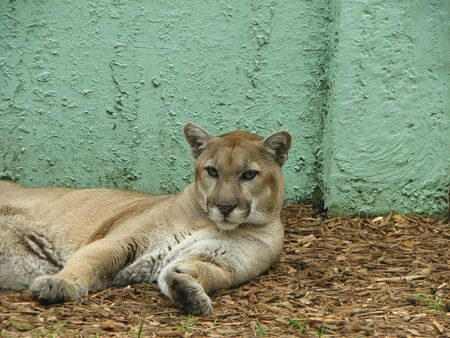 carnivora: Florida Panther   Felidae Carnivora Stock Photo