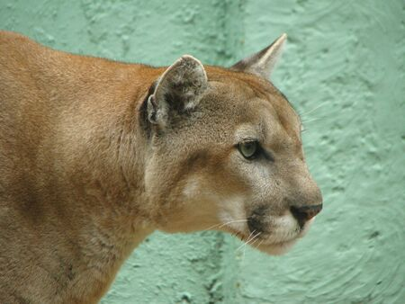 carnivora: Florida Panther 2  Felidae Carnivora Stock Photo