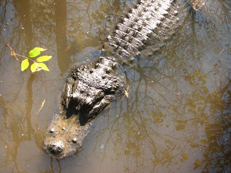 crawler: American Alligator