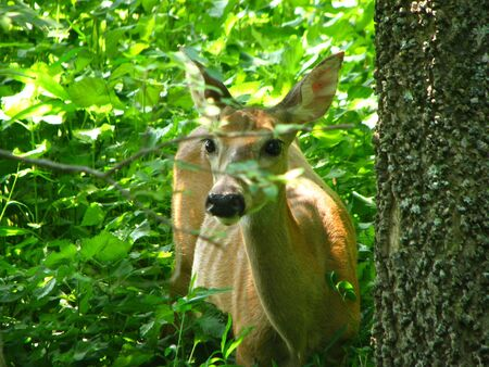 deer  spot: Headshot of Doe Deer