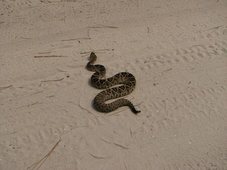 Rattlesnake crossing road
