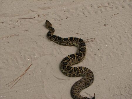 crawling animal: Rattlesnake crossing road