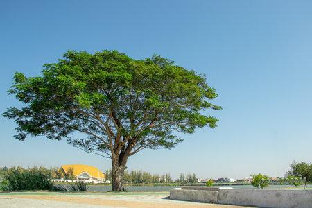 Rain Tree, East Indian Walnut . Has a scientific name as Samanea saman (Jacq.) Merr. With a blue sky background.