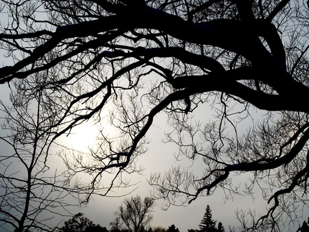 Silhouette of leafless tree on the winter sky.     photo