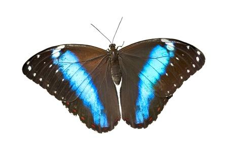 morpho: Banded Morpho Butterfly on White Background