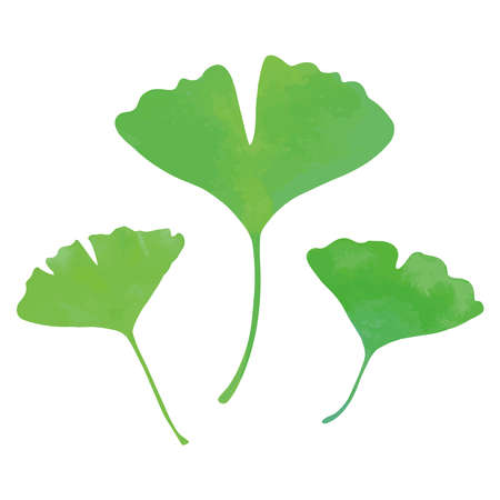 Ginkgo biloba, 3 leaves. Young green leaves. Watercolor painting