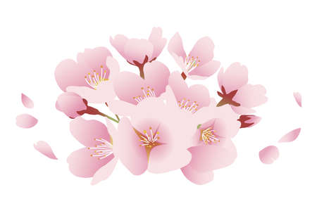 Cherry blossoms and petals, gathering of flowers. Illustration material