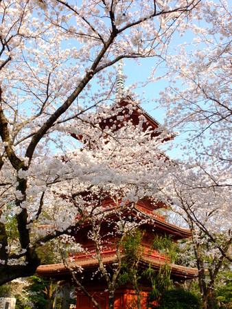 seaonal: cherry blossoms with japanese pagoda