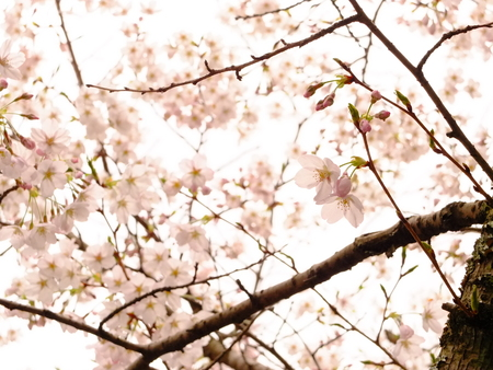 seaonal: cherry blossoms in pale light