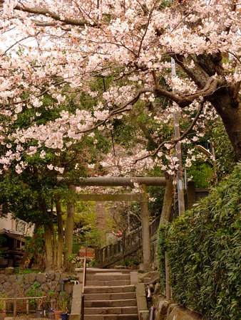 seaonal: Torii with cherry blossoms