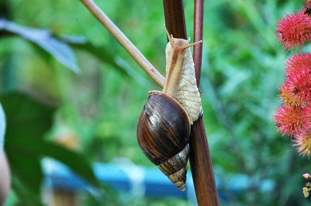 exotic pet: Snail Achatina. In many countries, Achatina contain a pet, and in France they are used for the preparation of exotic dishes. Stock Photo