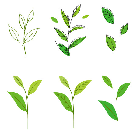 green tea leaf: Tea leaf