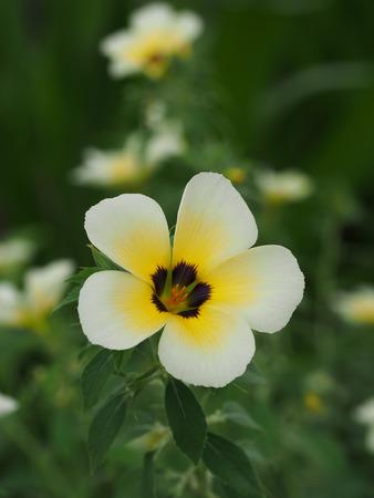 buttercups: Turnera subulata, Yellow Buttercups, Yellow Alder, Sage Rose. Stock Photo