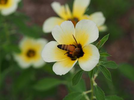 turnera: Bee on the sage rose flower Stock Photo
