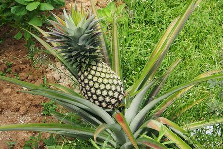 pineapple tree: fresh pineapple on tree in the farm