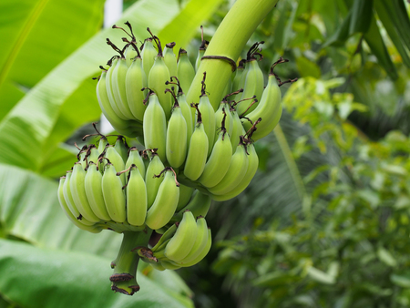 Banana tree with bunch of growing ripe green bananas