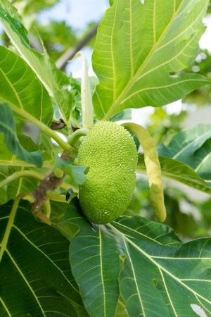 A breadfruit on the breadfruit tree Lizenzfreie Bilder