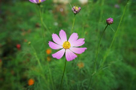 pink cosmos at garden
