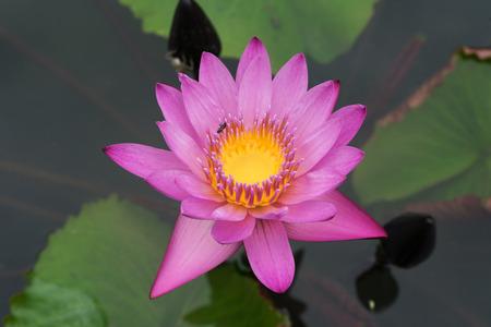 The beautiful pink lotus flower Standard-Bild - 91479373