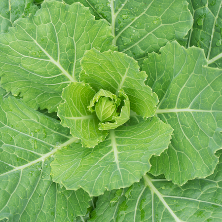 Closeup of top view chinese kale vegetable Standard-Bild - 91681686