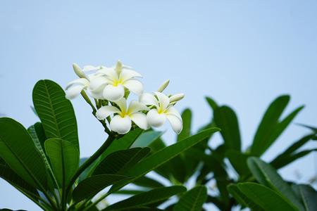 Frangipani flowers in garden Standard-Bild - 98763294