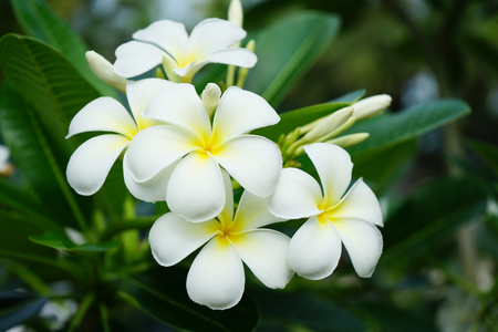 Frangipani Blumen im Garten Standard-Bild - 98785936