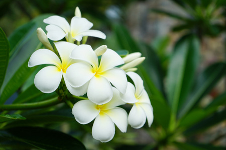 Frangipani Blumen im Garten Standard-Bild - 98720695