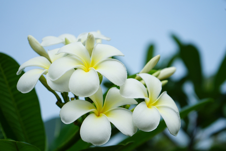 Frangipani Blumen im Garten Standard-Bild - 98928966