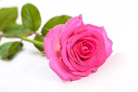 single beautiful pink rose isolated background Stockfoto