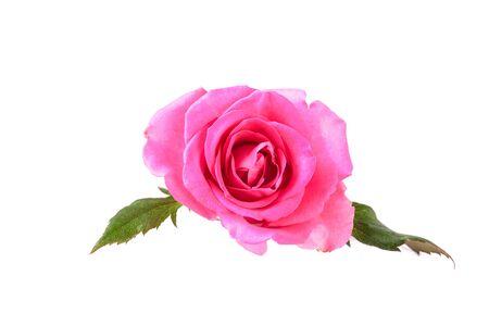 Beautiful single pink rose isolated on white background Stockfoto