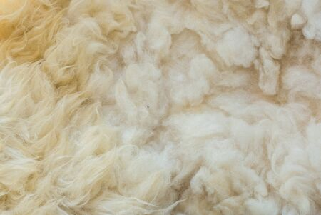 Close up to White Sheep's fluffy wool on background.