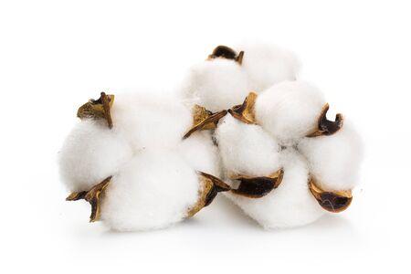 Batuffolo di cotone soffice di pianta di cotone su uno sfondo bianco.