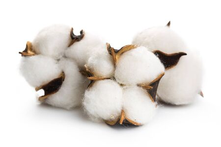 Fluffy cotton ball of cotton plant on a white background. Banco de Imagens