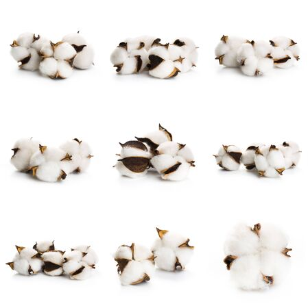 Set of Fluffy cotton ball of cotton plant on a white background. Stock Photo
