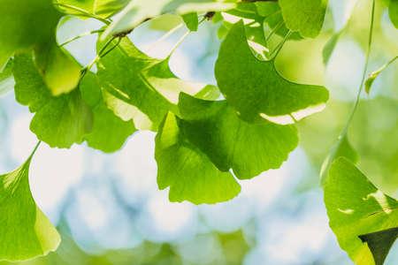 Ginkgo biloba green leaves on the tree. Ginkgo biloba tree leaves with sunbeams. healing. herbal medicine Stock Photo