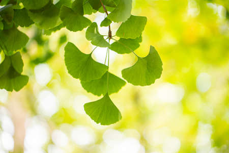 Close up of green japanese ginkgo leaves in summer.